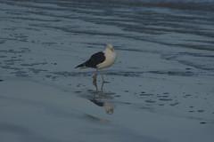 4 (Dwarskerser) Tags: seagull weskus seemeeu dwarskersbos westcoastofsa