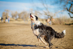 Take Off (Anda74) Tags: colorado action bordercollie dogpark ouzo cherrycreek dirtydog canonef85mmf18usm