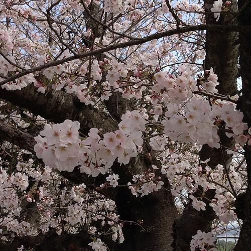 만개한 벚꽃.
