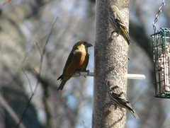 Red Crossbill (left) with Pine Siskins, Palos Park, Cook Co., IL (3-22-13) (Walter Marcisz) Tags: birds finches fringillids passerines