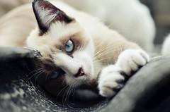 #Cat (Carlos Fachini ™) Tags: eye animals cat vintage 50mm nikon gato felinos animales lightroom