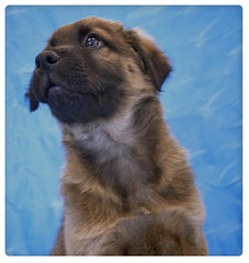 Rob the 8 Week Old Chow/Shepherd Mix (Immature Animals) Tags: blue arizona portrait rescue baby black cute animal puppy mix tucson shepherd background tan az marshall pima whiskers derek bark chow snout chowchow koalition pacc barktucson backpacc