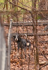 12/52 corner to corner (huckleberryblue) Tags: dog leaves fence gracie hound bluetickcoonhound week12 52weeksfordogs