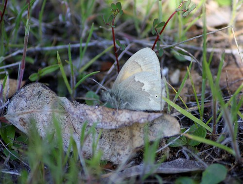 Butterfly Or Moth, First One On The Hill