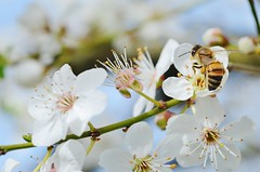 Working (Tinina67) Tags: france tree fruit garden insect spring au plum bee honey tina marron baum biene mirabelle obst gers pflaume tinina67