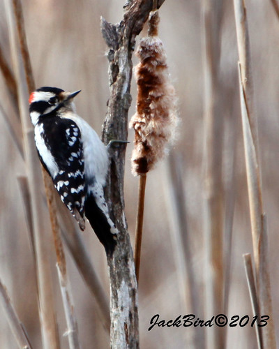 Downy Woodpecker By Jack Bird