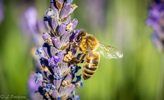 Maya l'abeille. (Ludovic Petitfrere) Tags: été abeille animal lavande insecte couleurs france faune flickraward flickr fly flore fleur orange ngc nikon nature nikkor macro detail