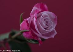 IMG_0577 (A.J. Boonstra) Tags: rose roses pink flowers ef100mmf28lmacroisusm canon70d falconeyesskk2150d elitegalleryaoi bestcapturesaoi