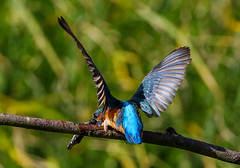 Kingfisher Female Alcedo atthis 070-1 (cwoodend..........Thanks) Tags: 2016 brandon brandonmarsh steetleyhide westmarshpool wwt warwickshirewildlifetrust kingfisher kingfisherfemale alcedoatthis