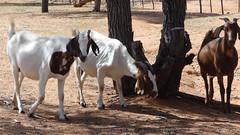 Goats, Otjikandero Himba Village, Kunene, Namibia (dannymfoster) Tags: africa namibia kunene himba himbavillage otjikanderohimbavillage animal goat