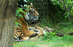 Playtime (tommyajohansson) Tags: london londonzoo zsl zoologicalsocietyoflondon regentspark zoo djurpark tiergarten tommyajohansson geotagged tiger tigre sumatrantiger