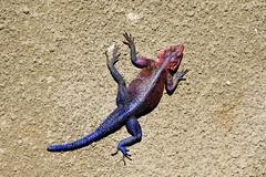 Agama lizard, Serengeti (2) (Prof. Mortel) Tags: tanzania serengeti agamalizard lizard agama