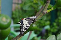 Schwalbenschwanz (Aah-Yeah) Tags: schmetterling butterfly tagfalter swallowtail papilio machaon marquartstein achental chiemgau bayern