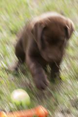 LOUKA-06765 (angeconsales) Tags: animal chien labrador chocolat