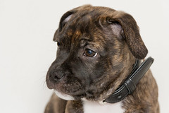 IMG_84812 (jeannetbijlsma) Tags: dogs dog pet puppy puppylove puppies baby sweet stafford englishstafford doglove photo photographer dogpicture