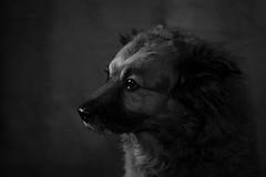 _DSC0044bw (d.gyoung1) Tags: dog female mutt mixed cute phoenix arizona az phx glendale pet pets sweet girl adorable animal furry canine portrait portraits studio