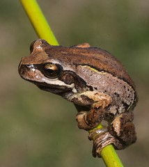 Litoria eweingi (Macraes Flat) (ROCKnVOLE Photography) Tags: litoria ewingi whistlingfrog browntreefrog frog amphibian macraesflat otago newzealand