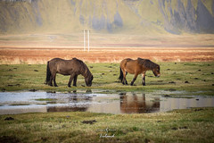 Icelandic horses (Ching Ching Tsui) Tags: iceland icelandic hourse horse