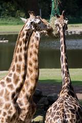 Giraffe @ Burgers Zoo (Edwin van Tilburg - Oss - Netherlands) Tags: giraffe zoo burgers arnhem netherlands nederland dierentuin sigma70200 a77 sony gelderland