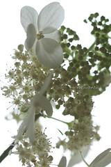 Klimhortensia/hydrangea (Hydrangea petiolaris) (roelivtil) Tags: highkey klimhortensia hydrangea whiteflower whitebackground