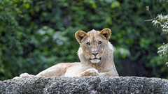 Lion cub posing well (Tambako the Jaguar) Tags: lying resting posing rock stone vegetation portrait looking cute lion big wild cat basel zoo switzerland nikon d5