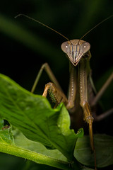 DSC_8653 (Lopshire Photography) Tags: mantis predator prayingmantis chinesemantis entomology arthropod lopshirephotography lopshire bugs sigma pocketwizard 3leggedthing