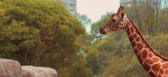 Siempre arriba (Isaac Franco) Tags: giraffe zoo zoolgico chapultepec cdmx animal cuello neck long largo jirafa