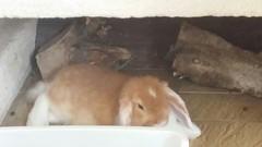 IMG-20160808-WA0004 (jlfaurie) Tags: bambam lapi rabbit bunny conejo animal familier family member pet compania