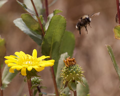 Gum plant and bumble bee (Tom Clifton) Tags: pointlobos moundmeadowtrail gumplant flower bumblebee