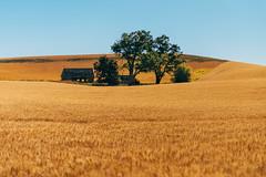 Oasis (Pedalhead'71) Tags: uniontown washington abandoned homestead wheatfield palouse whitmancounty landscape