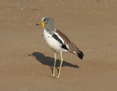 White-crowned Lapwing (tapaculo99) Tags: vanellusalbiceps birds aves africa southafrica krugernationalpark lapwing plover shorebird whitecrownedlapwing