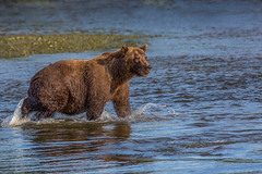 Bear at Sunset (blackhawk32) Tags: alaska bear brownbear lakeclark silversalmoncreek wildlife grizzlybear