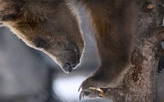 Gaining Perspective (maryanne.pfitz) Tags: kodiakbear grizzlybear brownbear cub yearling captive treeclimbing marshfield wisconsin male mammal animal bear mapkb6239 maryannepfitzinger winter