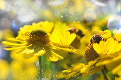 bees on flowers (C-Smooth) Tags: bees flowers helenium floral garden summer insect bokeh delightful macro nature