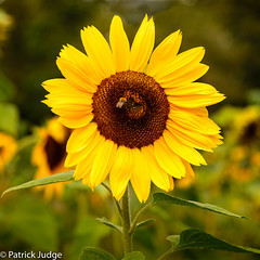 20160920-Sunflower-0002.jpg (Pat_J1) Tags: floraandfauna wicklow flowers colorcolour greystonescameraclub sunflower yellow flora flower