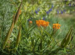 Garden-20160905-026.jpg (Eastlake) Tags: asclepiastuberosal butterflymilkweed butterflyweed chiggerflower orangemilkweed pleurisyroot
