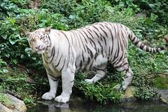 IMG_9743 (OZinOH) Tags: singaporezoo singapore zoo tiger pantheratigris panthera felidae