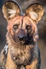 DT-167 (Photography by Brian Lauer) Tags: botswana dumatau africa safari safaris wildlife travel nikonphotography nikon lion elephant hippo fisheagle saddlebilledstork piedkingfisher lilacbreastedroller wilddog
