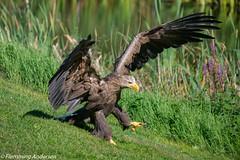 _FAN3044.jpg (Flemming Andersen) Tags: birds rne outdoor fugle animal bindslev northdenmarkregion denmark dk
