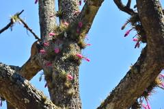 Árvore com bromélias - 1 (Márcia Valle) Tags: inverno invernotropical brasil brazil juizdefora minasgerais márciavalle nikon d5100 interior nature natureza green verde tillandsias bromeliads bromélias tree árvore flores flowers inflorescências