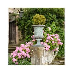 Hydrangeas and Urn (m_graf67) Tags: garden flower plant hydrangea urn chillingham castle northumberland uk landscape