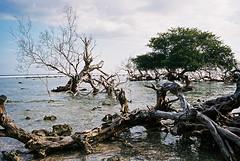 Water trees (pacco_racco) Tags: seaside coast trees branches color leicasummicron35mmf20asph kodakporta400 giliislands
