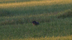 Portnoy the woodchuck (3 of 6) (krisknow) Tags: maine southchina wildlife woodchuck china unitedstates us