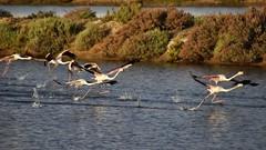 _DSC1704 - Rserve naturelle de Ria Formosa au Portugal (Valber78) Tags: flamant flamantsroses algarve riaformosa faro