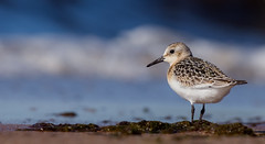 IMG_3525 (Simonas Minkeviius) Tags: calidrisalba sanderling lithuaniannature curonianspit juodkrante seashore