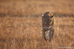 Leopard stare (Usha Harish) Tags: masaimara wildlife wildlifesafari wildlifephotography animals africa africansafari savannah africansavannah africageographic kenya travelkenya kenyasafari canon5dmarkiii canon500mmisii bigcat bigcats predator