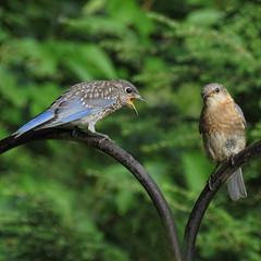 begging (mimbrava) Tags: easternbluebird fledglinganditsmom birds arr allrightsreserved mimeisenberg mimbrava mimbravastudio