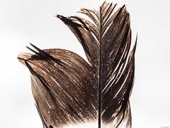 Entretejido (Luicabe) Tags: ngc aireibre cabello enazamorado exterior luicabe luis macrofotografia naturaleza pluma tejido textura yarat1 zamora