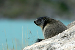 Marmotte (Fredww) Tags: suisse switzerland valais bagne alps alpes wildlife marmot