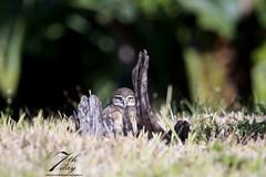 Hiding (Seventh day photography.ca) Tags: burrowingowl owl bird predator birdofprey animal wildanimal wildlife carnivore spring florida unitedstates raptor owlet young